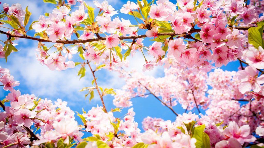 cherry-blossom-spring1-1170x658